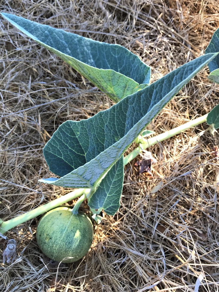 Hill Canyon Melon