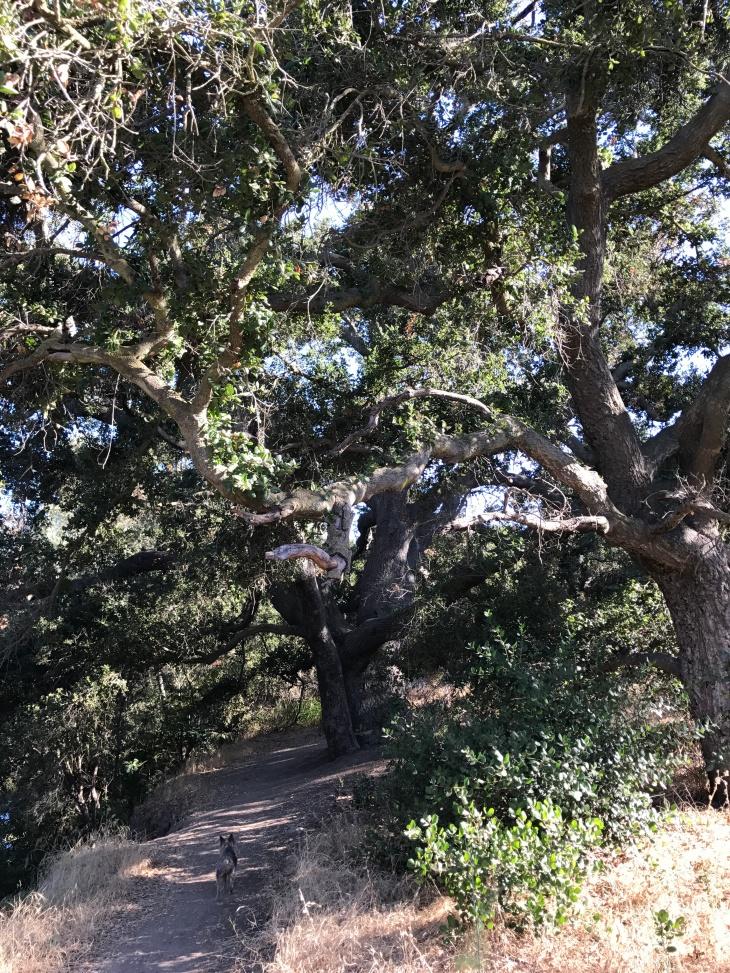 Hill Canyon tree1