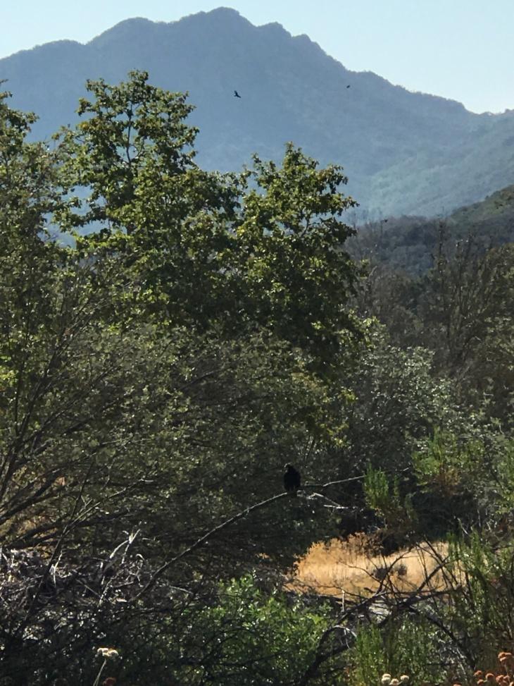 Malibu Vulture1
